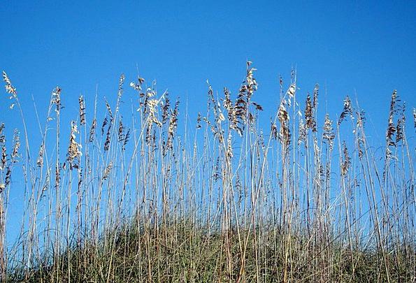 Sea Oats Landscapes Banks Nature Shore Coast Dunes