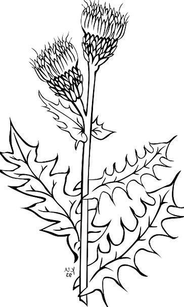 Milk Thistle Plants Florae Silybum Marianum Violet