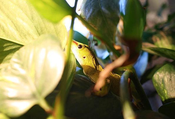 The Gecko Phelsuma Madagascariensis Lizard Reptile