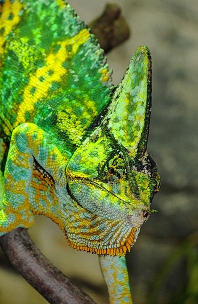 Chameleon Trimmer Iguana Like Reptile Zoo Menageri