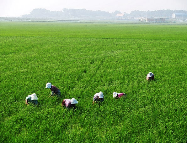Rice Paddies Farmers Agriculturalists A Medley Of