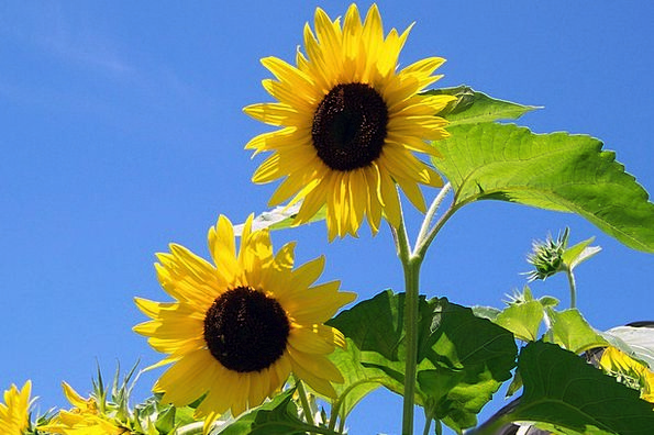 Sunflowers Landscapes Sunlight Nature Flower Flore