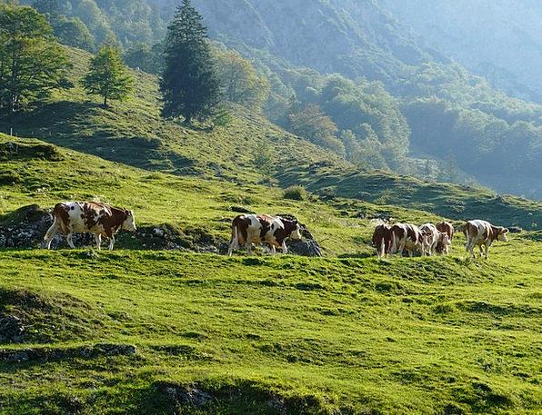 Cows Intimidates Viehscheid Almabtrieb Tradition C