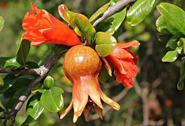 Flower Granada Drink Ovary Food Sweet Sugary Fruit