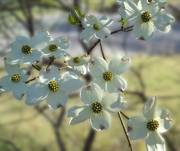 Flowers Spring Coil Dogwood Dogwood Blossoms Plant