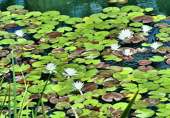 White Water Lilies Landscapes Pool Nature Floating