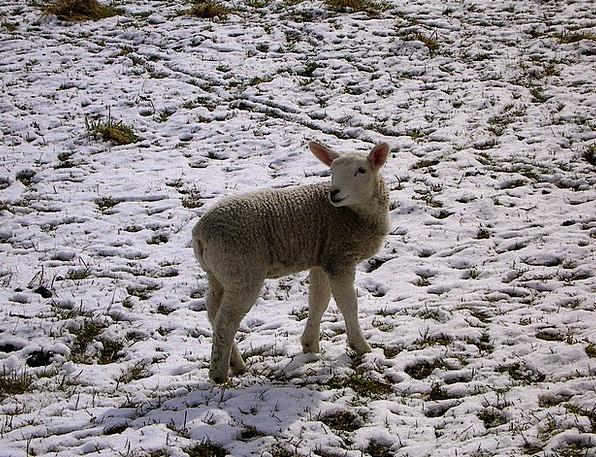 Winter Season Beef Schäfchen Lamb Easter