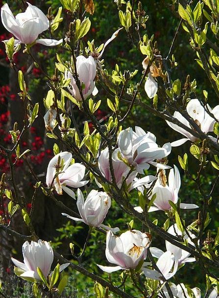 Magnolia Landscapes Nature Tree Sapling Tulip Magn