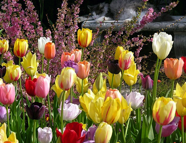 Tulips Landscapes Plot Nature Spring Coil Garden B