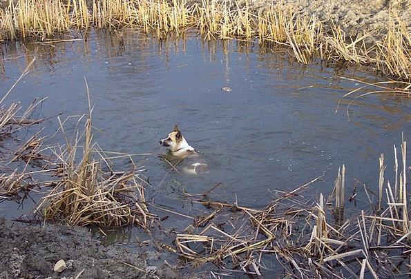Akita Pond Pool Shepard Water Aquatic Cool Swim Ma