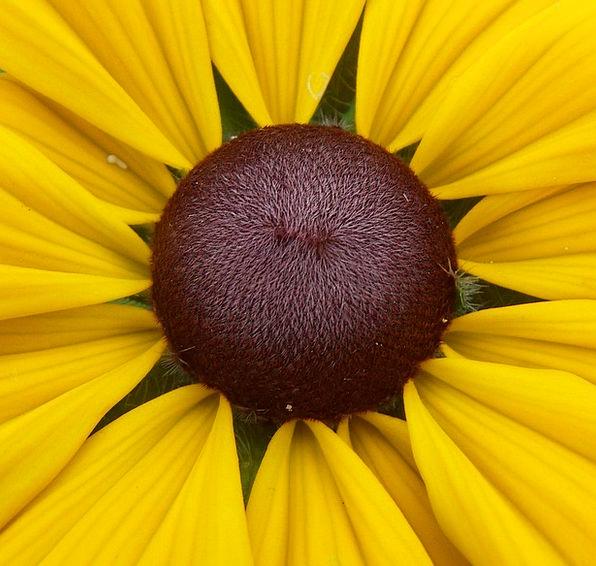 Coneflower Landscapes Floret Nature Seeds Kernels