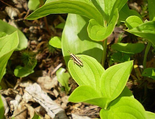 Grasshopper Bug Germ Insect Pests Garden Plot Biol