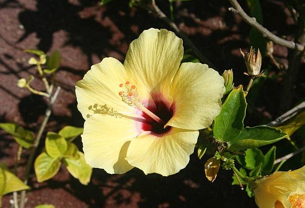 Hibiscus Florae Flowers Plants Bloom Flower