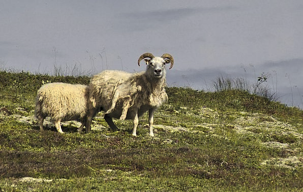 Sheep Ewe Landscapes Nature Nature Countryside Ice