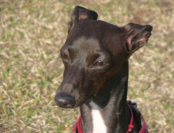Greyhound Canine Doglike Dog Pet Domesticated Natu