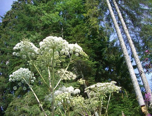 Giant Hogweed Landscapes Nature Plant Vegetable Ho