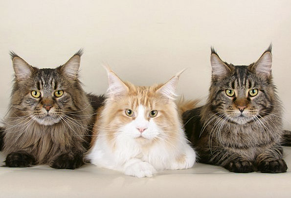 Cats Felines Three Maine Coon Cats Purebred Cute A