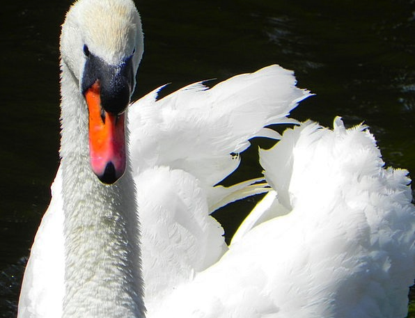 Swan Wander Fowl Feathers Downs Bird Grace Flying