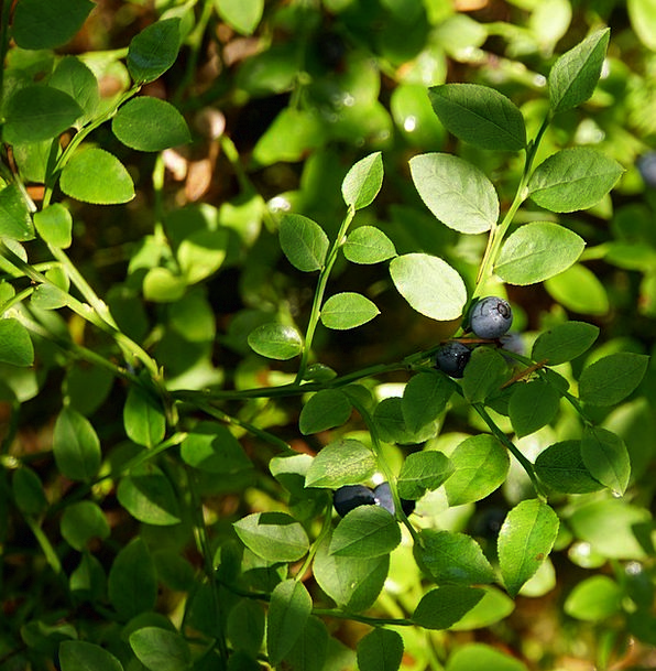 Blueberry Berry Bush Wild Berry Berry Picking Twig