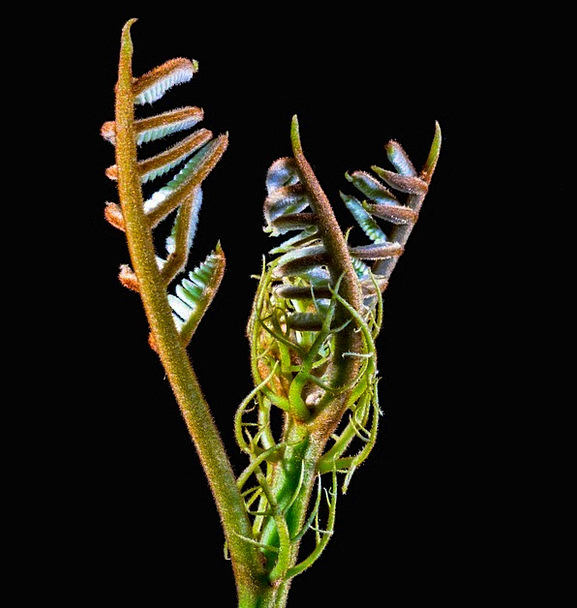 Fern Leaf Boy Shoots Young Leaves Spring Coil Hair