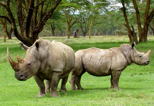 Africa Landscapes Nature Rhino White Rhinos Plants