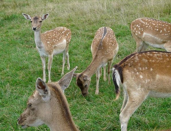 Deer Head Drawing Young Animals Capreolus Capreolu