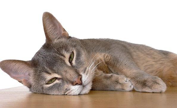 Abyssinian Cat Catlike Egyptian Feline Resting Zul