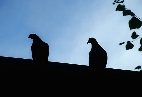 Doves Pacifists Pacifist Animal Physical Dove Bird