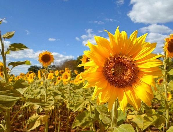 Sunflower Arena Flower Floret Field Yellow Creamy