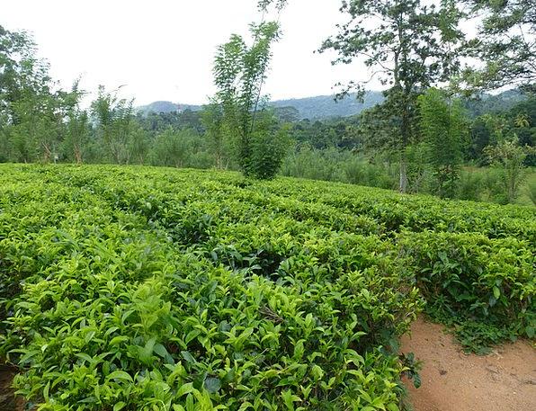 Tee T-shirt Sri Lanka Tea Plantation
