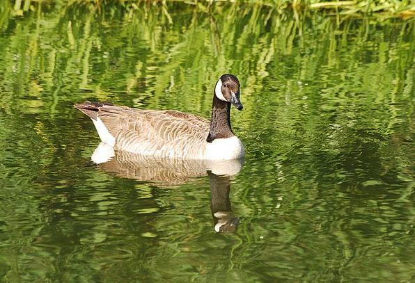 Canada Geese Waterfowl Duck Branta Canadensis Goos