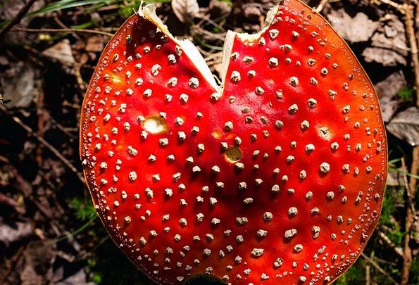 Fly Agaric Landscapes Nature Mushroom Burgeon Aman