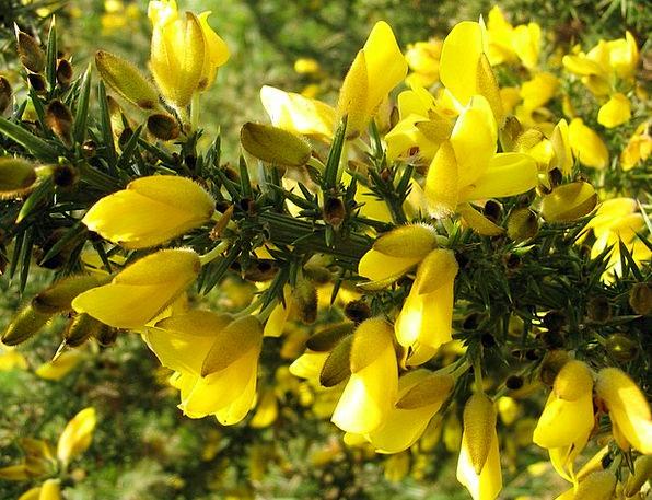 Gorse Scrubland Flower Floret Bush Heath Moorland