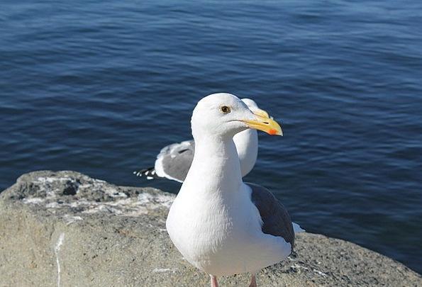 Seagull Fowl Sea Marine Bird Ocean Nature Gull Cou
