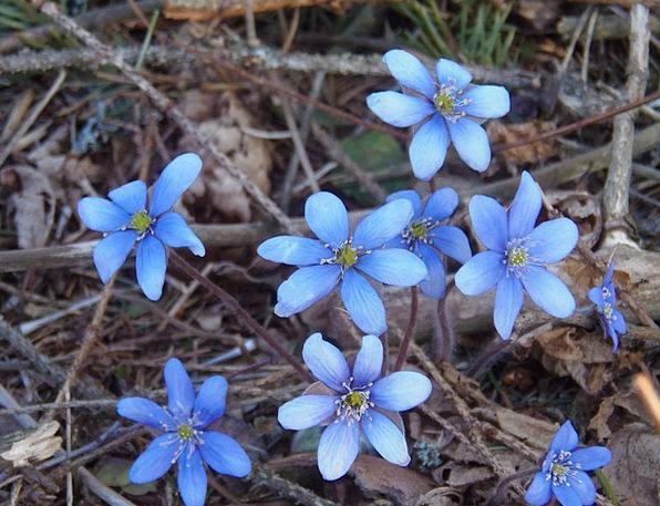 Liverleaf Landscapes Nature Flowers Plants Liverwo