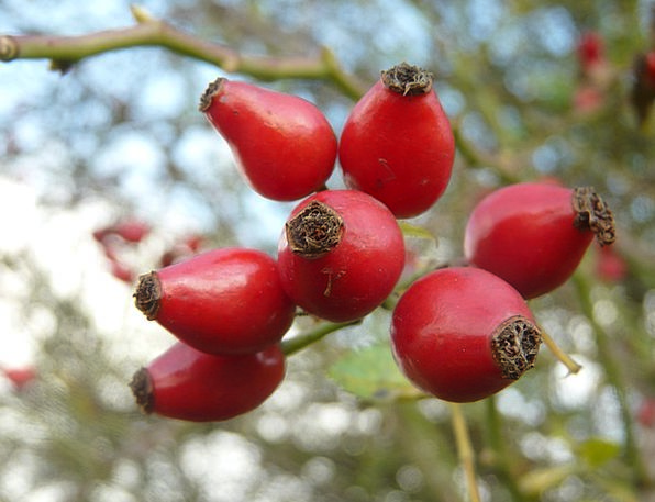 Rose Hip Drink Ovary Food Nature Countryside Fruit
