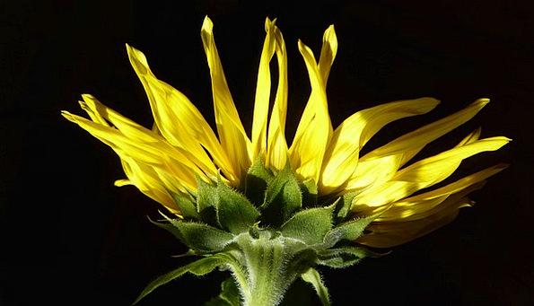 Sun Flower Landscapes Creamy Nature Flower Floret
