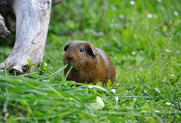 Guinea Pig Animal Physical Rodent Nature Eat Bothe