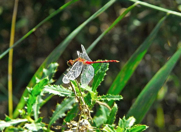 Dragonfly Bloodshot Insect Bug Red Wing Annex Faun