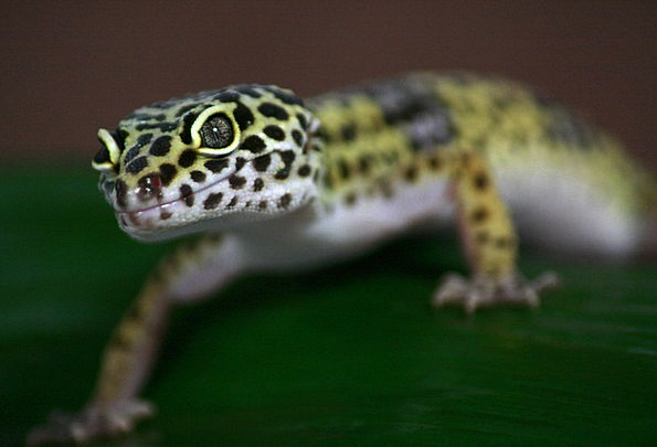Gecko Landscapes Nature Leoperdgecko Lizard Nature