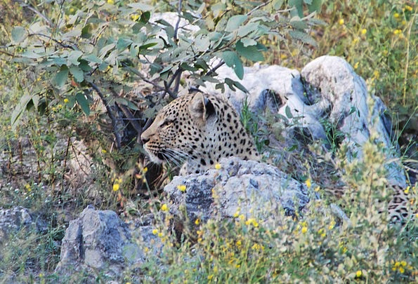 Leopard Anxieties Animal Physical Concerns Africa
