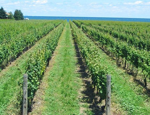 Vineyard Winery Vines Creepers Grape Canada Rows N