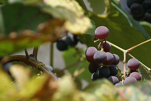 Grapes Drink Collection Food Fruit Ovary Group Sad