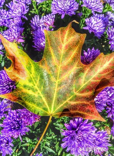 Maple Landscapes Foliage Nature Fall Reduction Lea