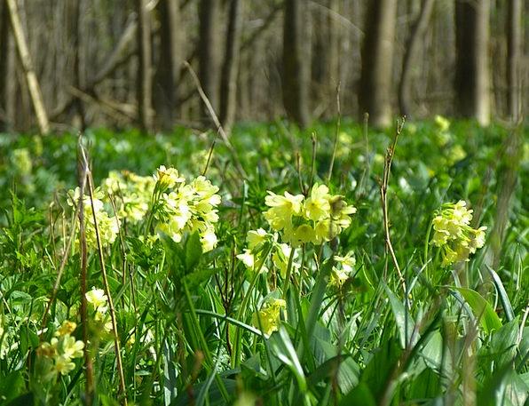 Cowslip High Primrose Forest Primrose Primula Vulg