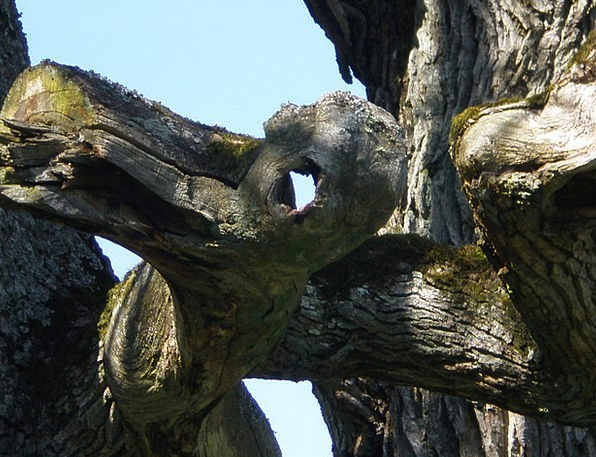 Oak Hantu Ghost Tree Face Mythical Creatures Eye M