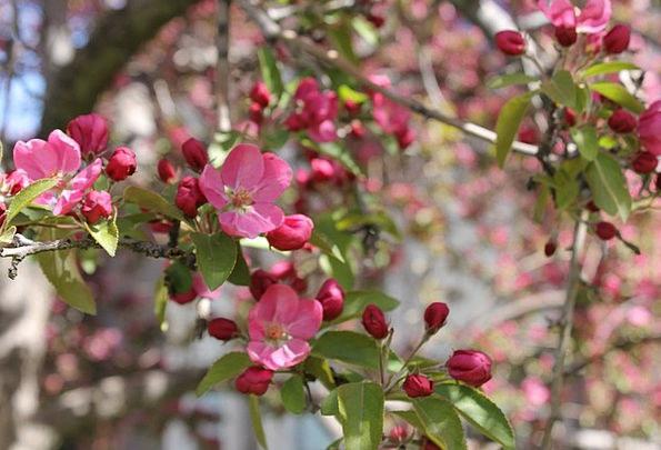 Crabapple Flushed Tree Sapling Pink Flowering Peak