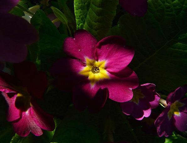 Primrose Floret Bloom Flower Red Bloodshot Spring