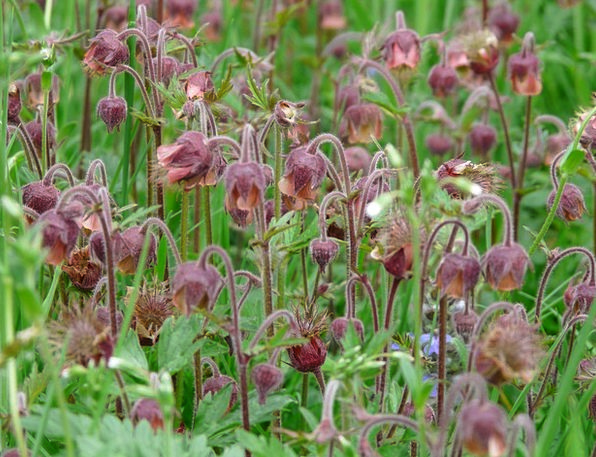 Avens Landscapes Nature Flower Floret Pointed Flow