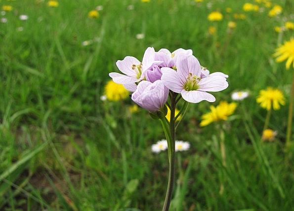 Cuckoo Flower Tender Loving Card Amines Pratensis